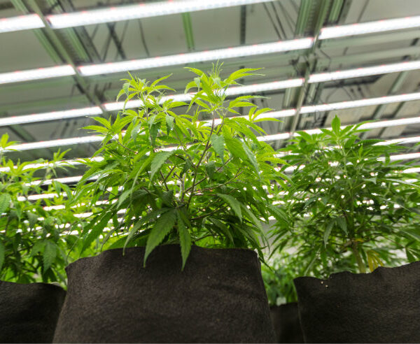 LED lighting is an integral part of modern grow room design. Image courtesy of ProGrowTech.