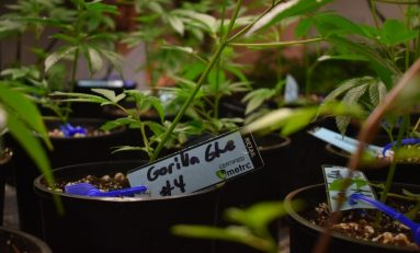Mexico Embraces New Cannabis Genetics as Cartels Fade