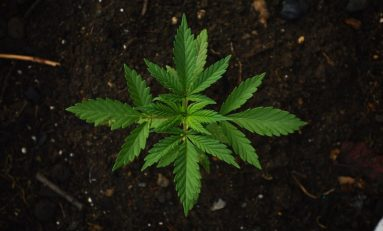 Which Cannabis Strains Have the Highest Percentage of CBD?