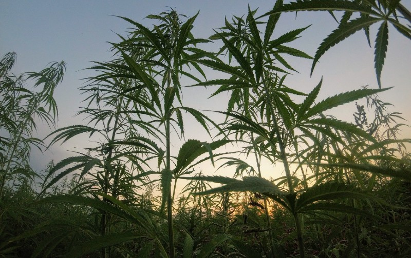 Cannabis Use By Humans Goes Back 10,000 Years