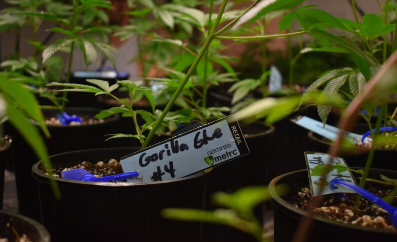 Does Lighting Influence Chemical Profiles in Cannabis?