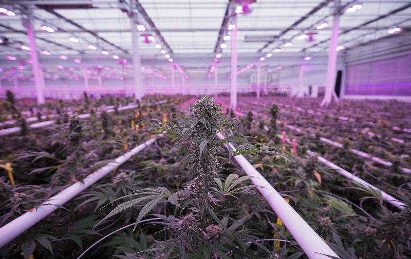Automation & Artificial Intelligence Revolutionize the Cannabis Industry