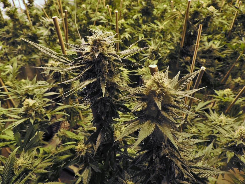 Report: Global Cannabis Market to Surpass $42 Billion by 2024