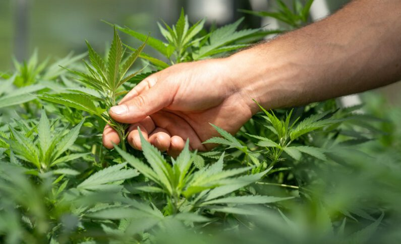 Could Lesser-Known Cannabinoids be the Future of Cannabis?