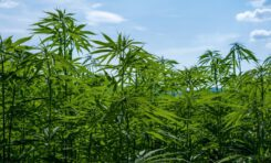 Morocco Plans to Allow Cultivation, Export, Sale of Cannabis