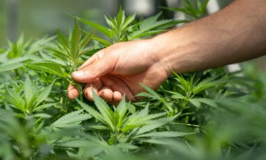 Is Your Cannabis Organic? Understanding Clean Cultivation