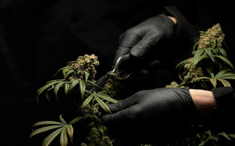 Potent Cannabis Crossing Border Into Mexico